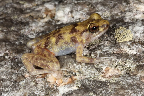 The Blotched Boulder frog. Photo by Conrad Hoskin