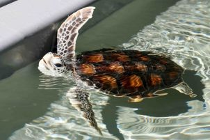 Photo of JCU Turtle Health Research