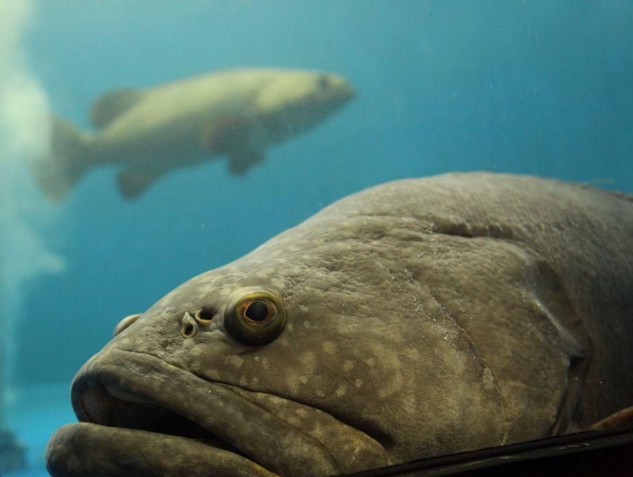 JCU grouper