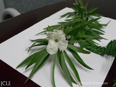 Dolichondrone heterophylla
