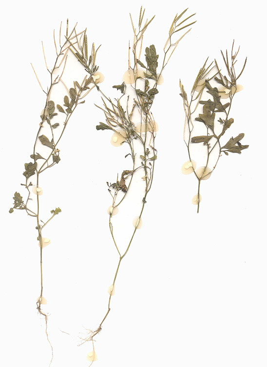 Scan of Cardamine