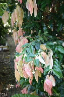 Syzygium cryptophlebium