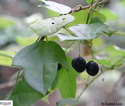 Image of Passiflora suberosa