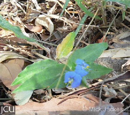 Commelina ensifolia