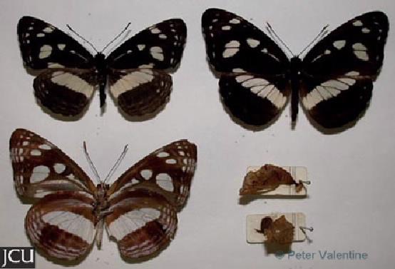 Phaedyma shepherdi