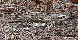 Curlew camouflage