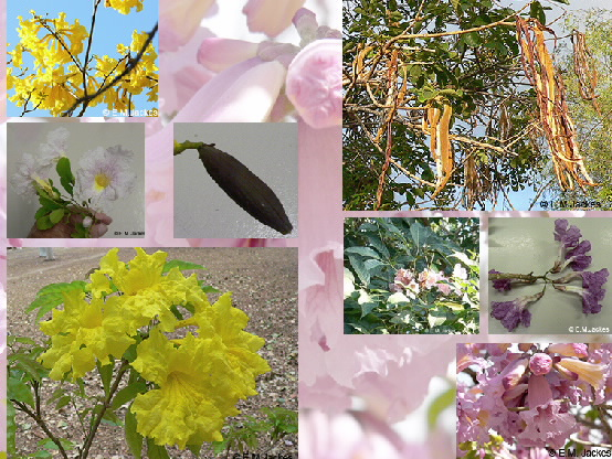 Composite image of Tabebuia flowers and pods