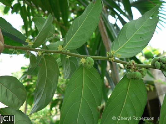 Glochidion philippicum