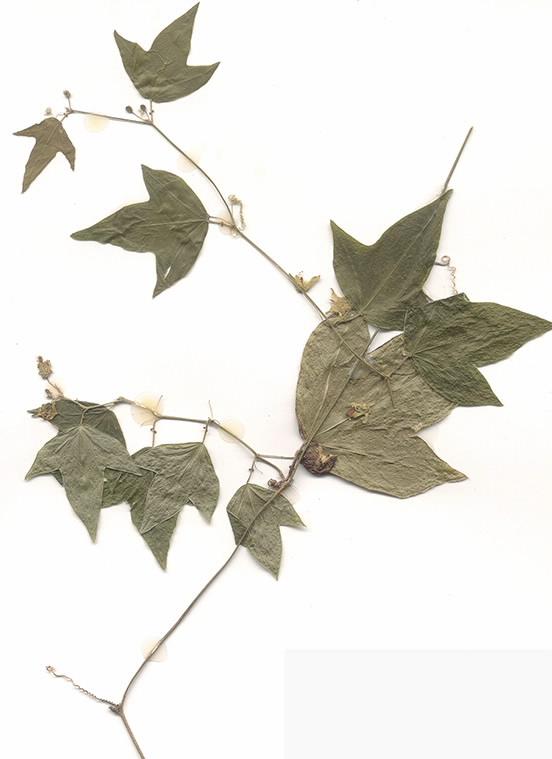 Scan of Passiflora suberosa