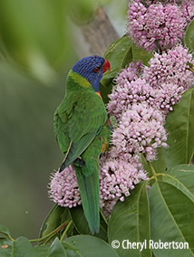 Lorikeet in Euodia