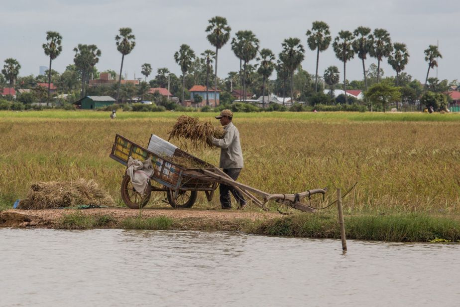 Long shot of a man in a field carrying a bale of rice to put in a wooden cart.