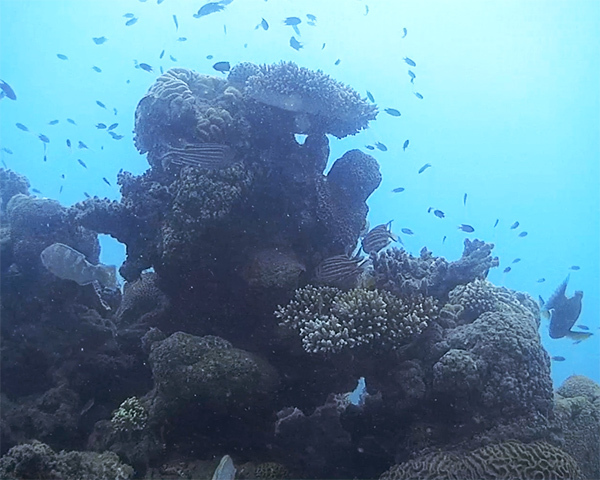 Coral outcrop with various reef fish image