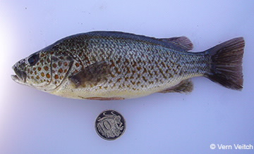 Image of spangled perch