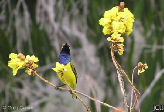 Nectarina jugularis