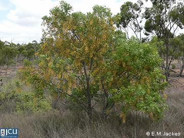 Image of Cassia brewsteri