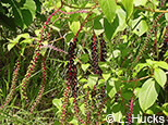 Small image of Phytolacca