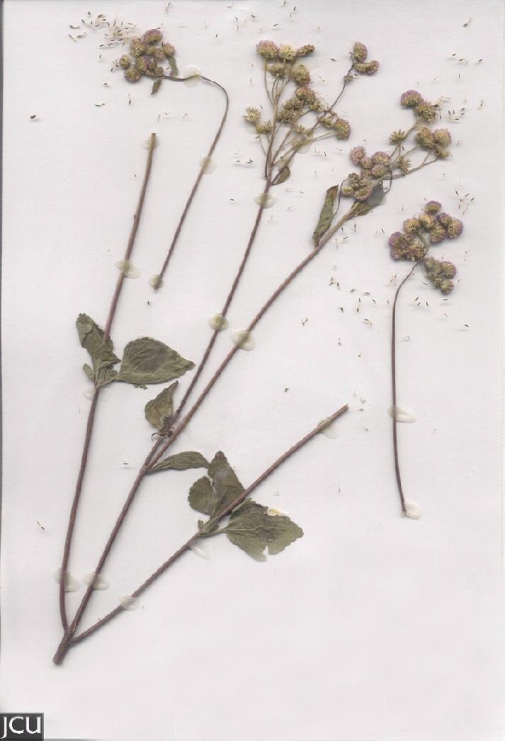 Ageratum houstonianum