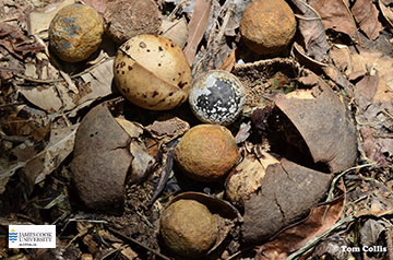 Image of Aleurites seeds