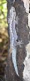 Oedura rhombifer (Zigzag velvet gecko)