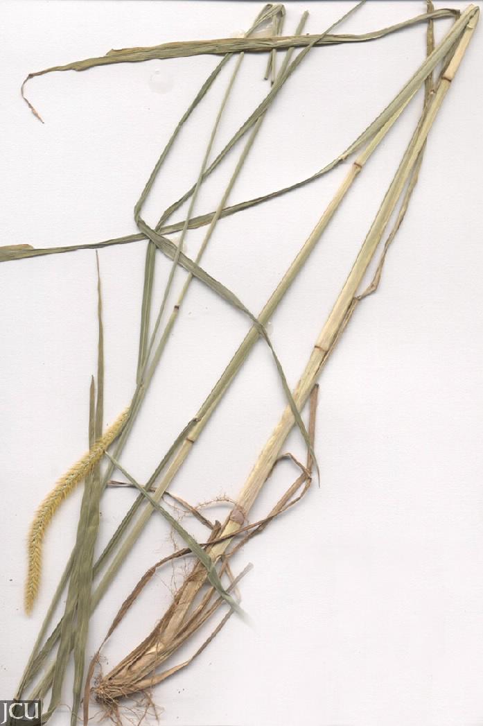 Setaria pumila subsp. pallidefusca