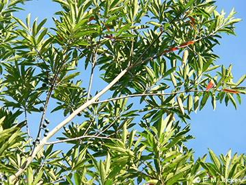 Image of Elaeocarpus angustifolious