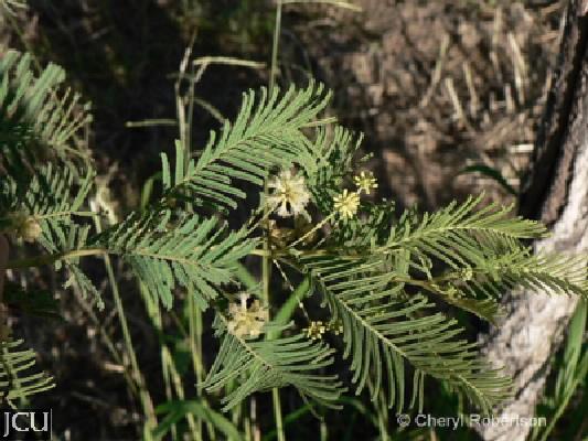 Vachellia bidwillii