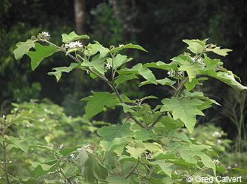 Image of Solanum torvum