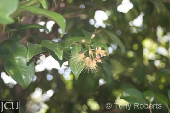 Syzygium australe