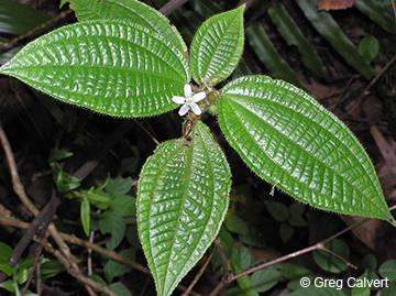 Image of Clidemia hirta