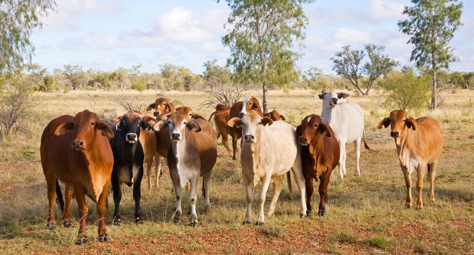 Cattle in the dry tropics