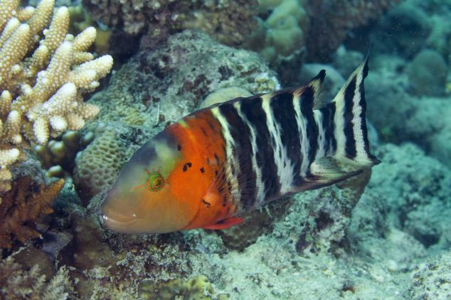 A wrasse and coral