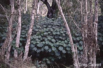 Image of Ricinus communis