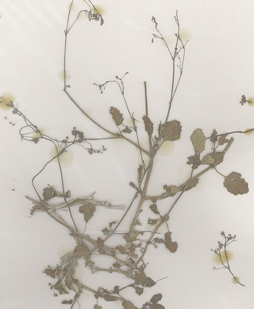 Scan of Boerhavia