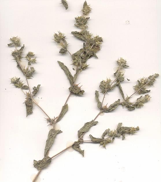 Scan of Acanthospermum