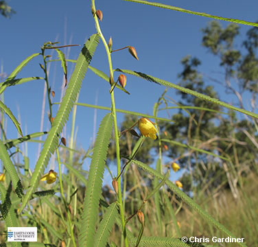 Image of Chamaecrista mimosoides