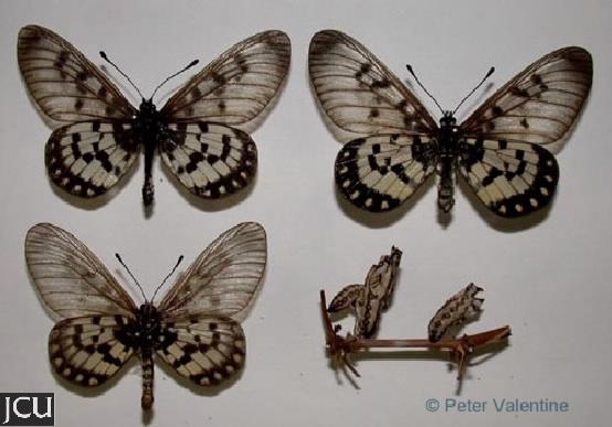 Acraea andromacha