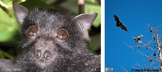 Images of black flying fox