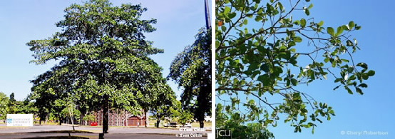 Images of Terminalia tree and branch