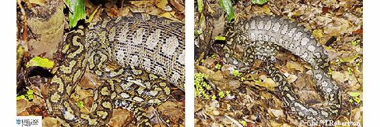 2 images of python having eaten a scrub turkey