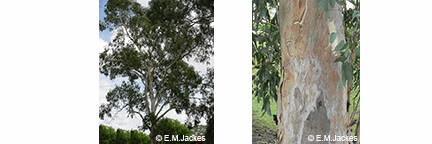 Images of Euc. camaldulensis