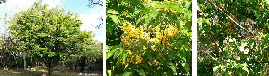 Images of Pterocarpus