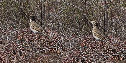Two pipits