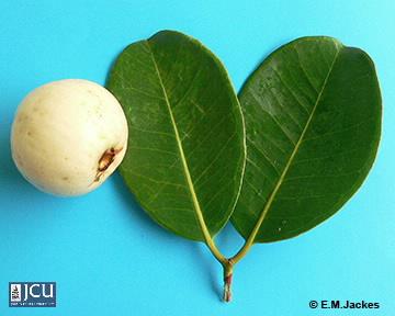 Image of Syzygium forte