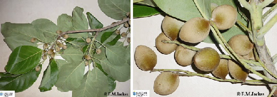 Two images of Terminalia fruit