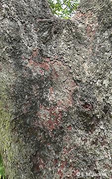 Image of Corymbia erythrophlopia bark