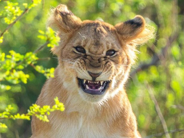 A lion cub snarling at the camera