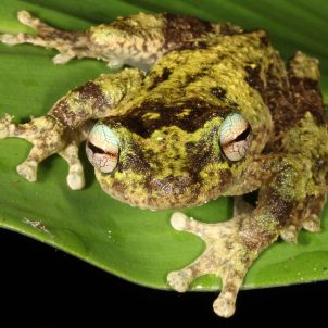 Photo of Saving North Queensland Frogs