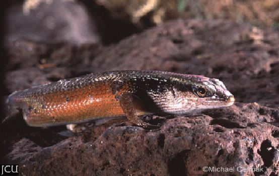 Carlia longipes