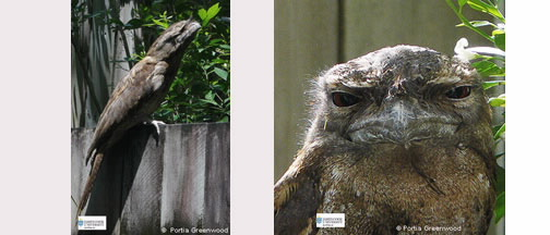two images of Papuan Frogmouth