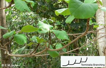 Image of Terminalia species